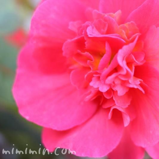 アザレア(濃いピンク)の画像
