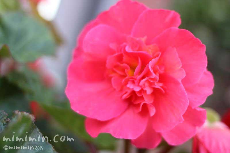 アザレアの花の写真