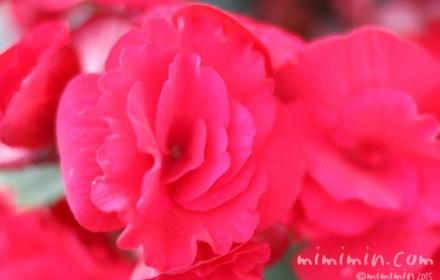 リーガースベゴニアの花の写真