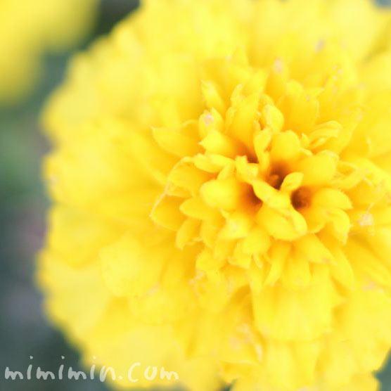 マリーゴールド(花の写真)の画像