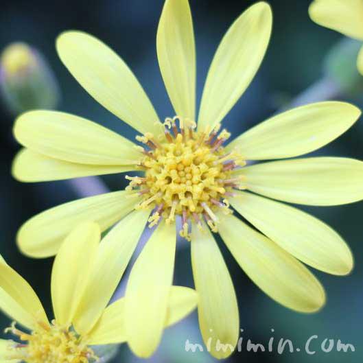 ツワブキ(石蕗)の花の写真