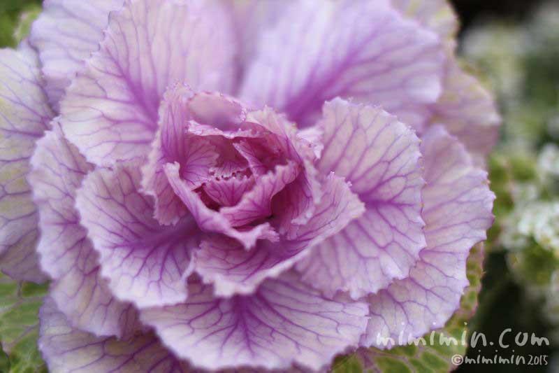 ハボタン・葉牡丹(紫色)の写真