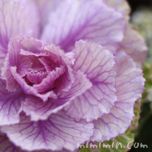 ハボタン(紫色)の画像