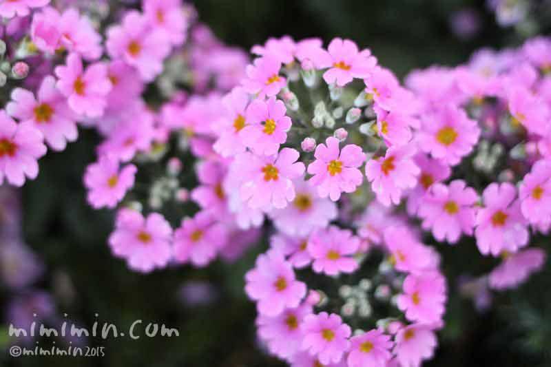 プリムラ・マラコイデス(薄いピンク)の写真