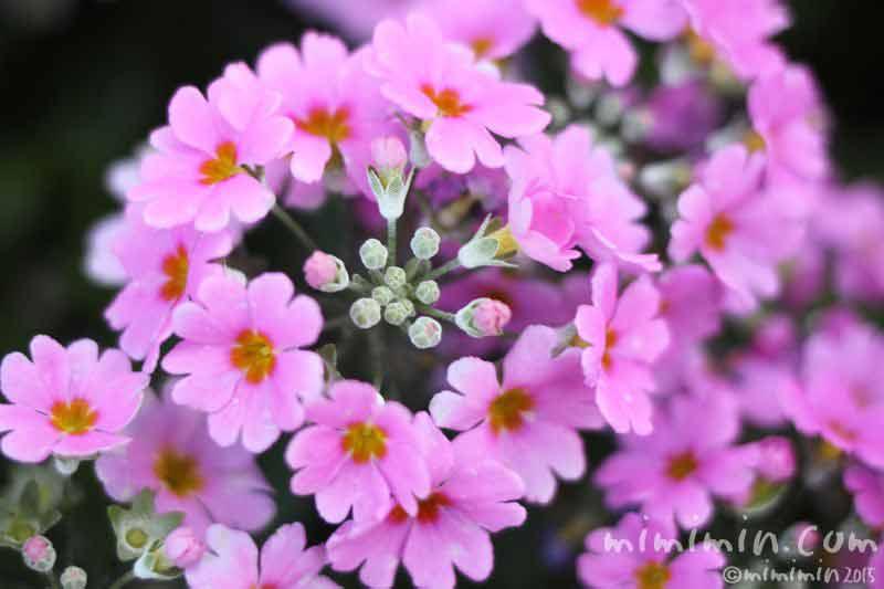 プリムラ・マラコイデス・西洋サクラソウ(薄いピンク)の画像