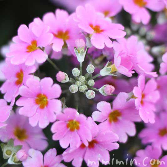 プリムラマラコイデスの花の写真(薄いピンク)