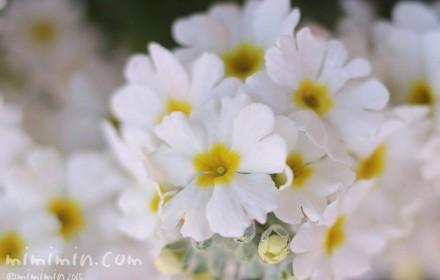 プリムラ マラコイデスの花の写真(白色)