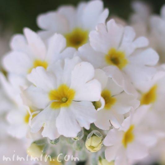 プリムラ マラコイデス(白色)の写真
