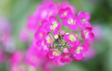 スイートアリッサム(ピンク色)の写真・花言葉の画像