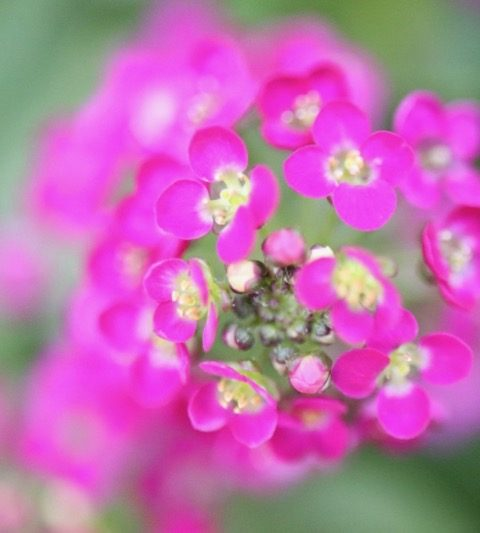 ピンク色のアリッサム(花の写真・花言葉)