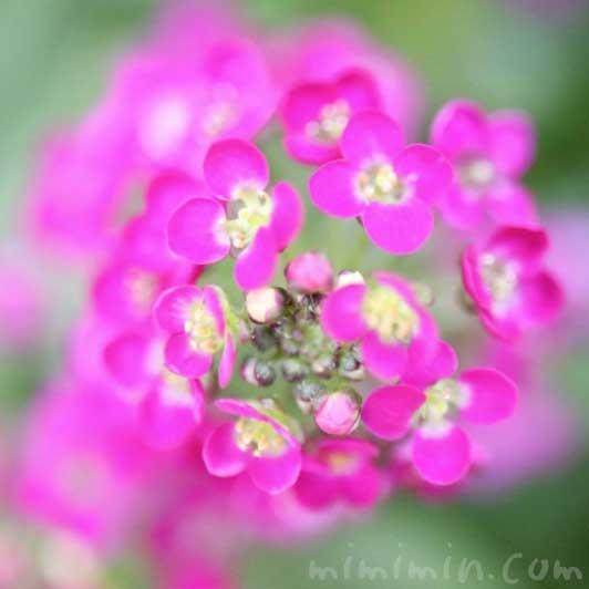 ピンク色のアリッサムの花の写真と花言葉
