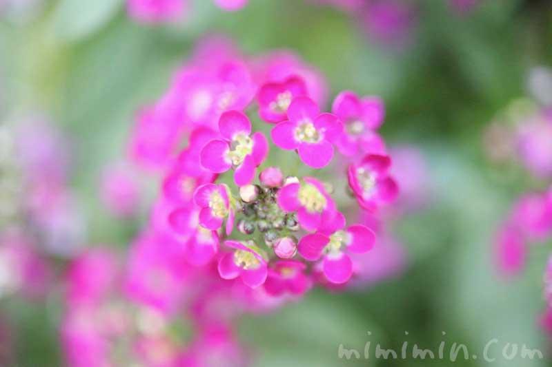 アリッサム(ピンク色)の写真・花言葉の画像