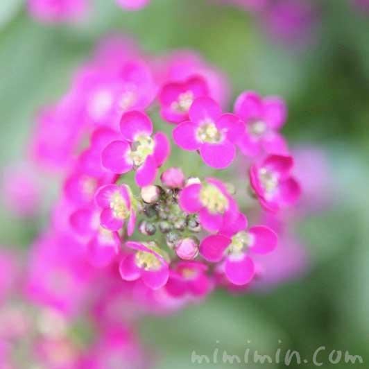 スイートアリッサム(ピンク色)の花の写真・花言葉の画像