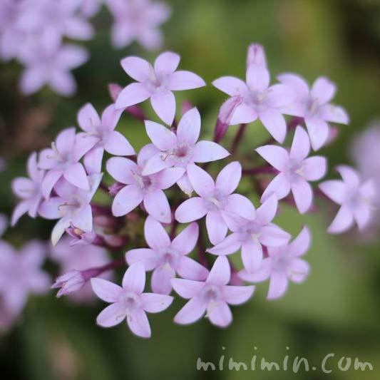 ペンタス(薄紫色)の画像