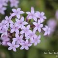 ペンタス(薄紫色)の花の写真