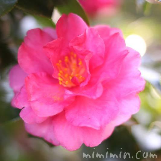 サザンカの花の写真(濃いピンク色の山茶花)