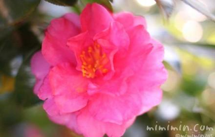サザンカの画像(濃いピンク色の山茶花)