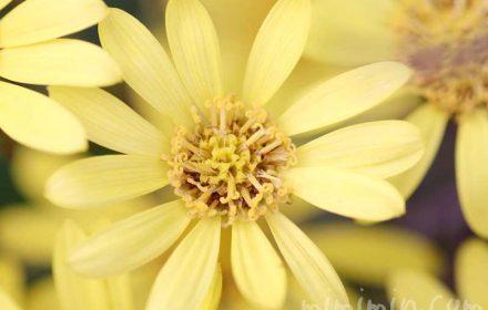 石蕗の花の画像