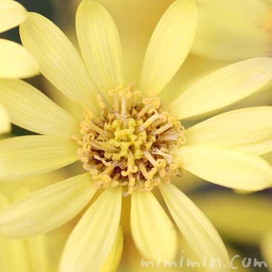 石蕗の花言葉の写真