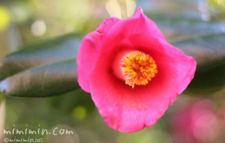 ツバキ(濃いピンク)の画像