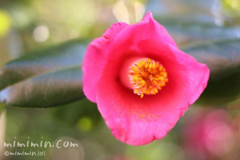 ツバキの花の写真