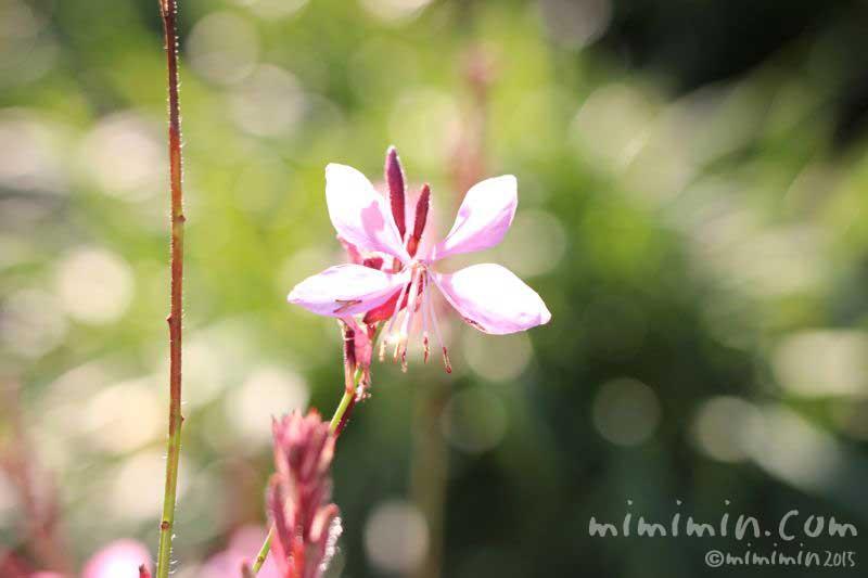 ハクチョウソウの花(白蝶草)の写真
