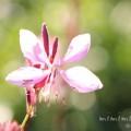 ハクチョウソウの花(ガウラ)の写真