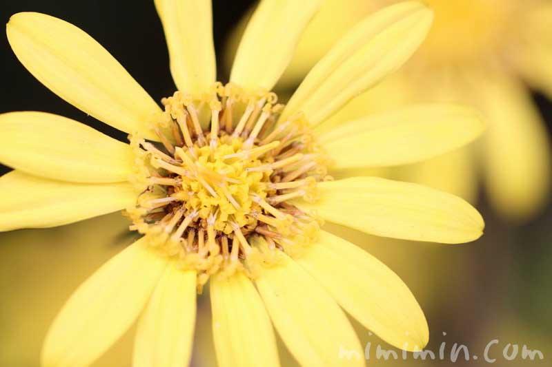石蕗の花の写真の写真