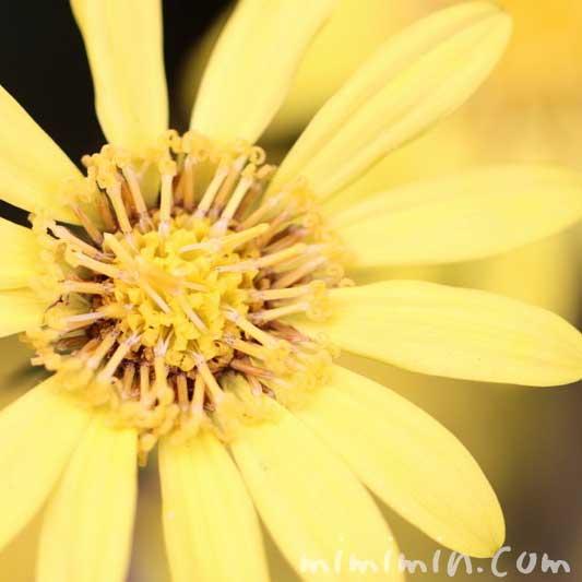 ツワブキ・石蕗の花言葉の写真