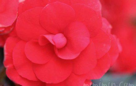 赤いエラチオールベゴニア(リーガースベゴニア)の写真