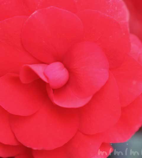 エラチオールベゴニアの花の写真&花言葉