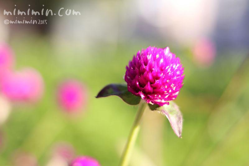 センニチコウの花の写真(紫紅色)