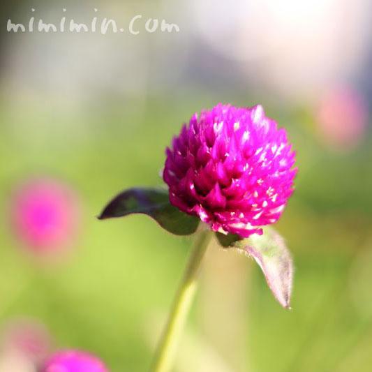 センニチコウ(紫紅)の画像