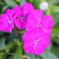 ピンクのナデシコ(ダイアンサス)の画像