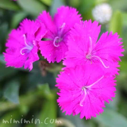 ピンクのナデシコの花(ダイアンサス)の写真