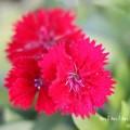 ナデシコ・ダイアンサス(赤色)の画像