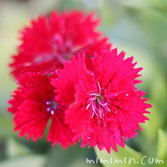 ナデシコの花・ダイアンサス(赤色)の写真