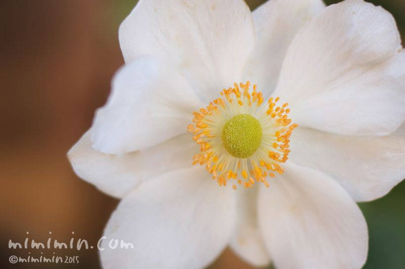 秋明菊(白)の画像