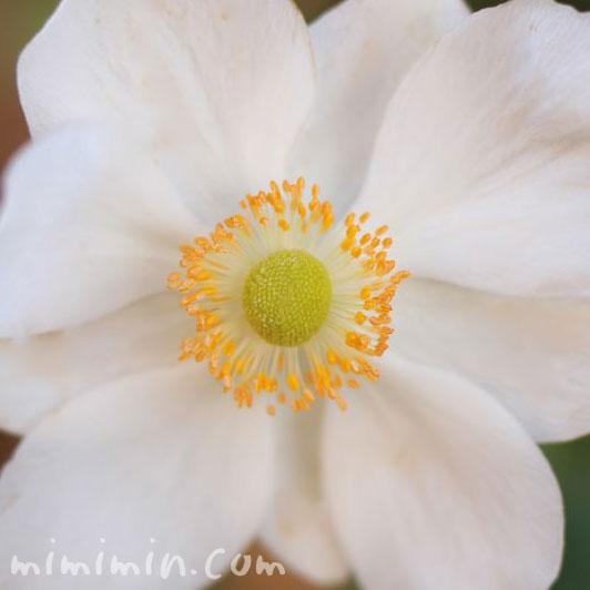 白い秋明菊の画像