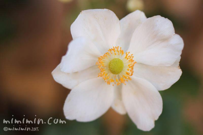 秋明菊の花の写真(白)