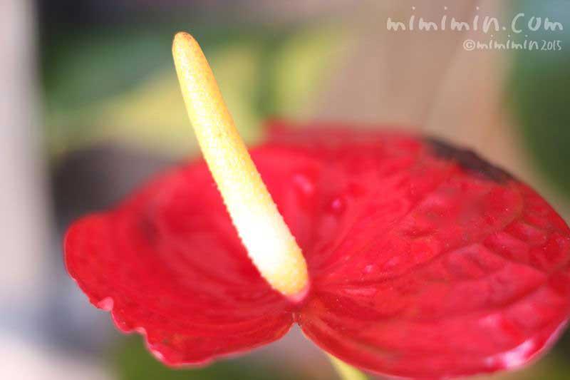 赤いアンスリウムの花の画像