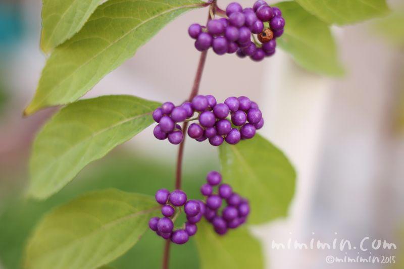 コムラサキ(小紫)の写真
