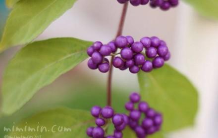 コムラサキ(小紫)の実の画像