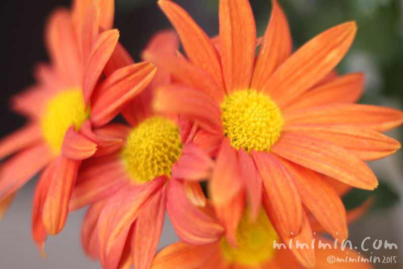 オレンジ色のキクの写真