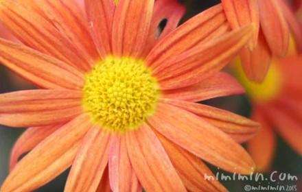オレンジ色のキクの花の写真