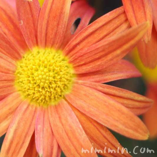 キク・菊(オレンジ)の画像