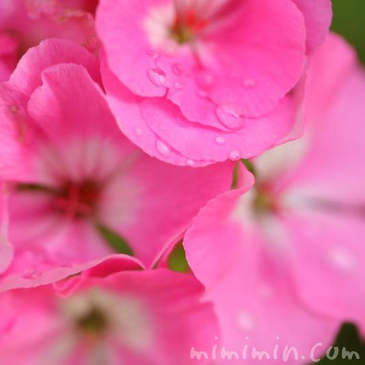 ピンク色のゼラニウムの画像