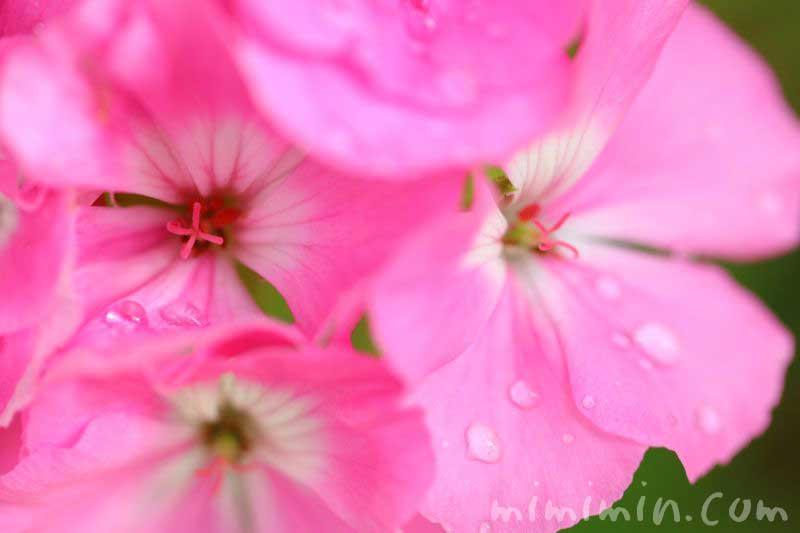ピンク色のゼラニウムの花の写真