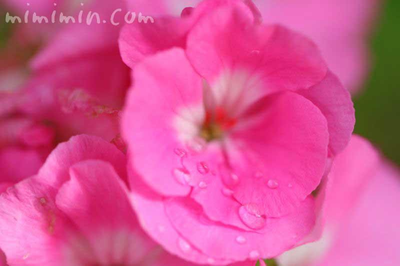ゼラニウムの花 ピンク色の写真