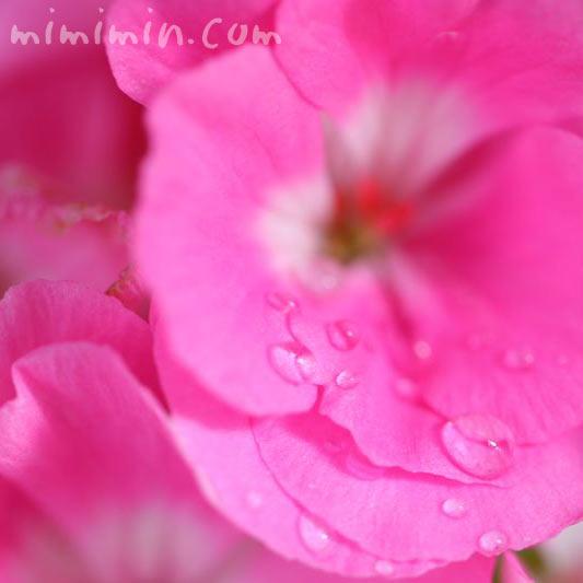ゼラニウム ピンク色の写真